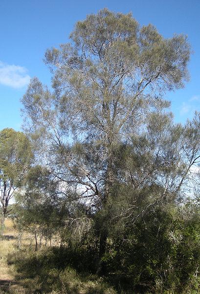 Know Your Wood Australian Buloke